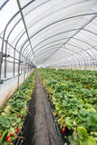 Strawberries undercover. Rows of strawberry plants growing undercover Stock Photos