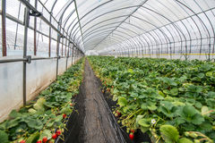 Strawberries undercover. Rows of strawberry plants growing undercover Stock Photography