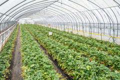 Strawberries undercover. Rows of strawberry plants growing undercover Stock Photo