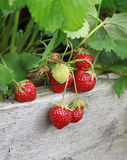 Strawberries on the vine Stock Images