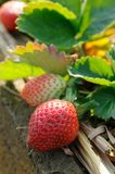 Strawberries on the vine Stock Photography