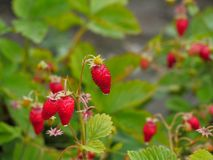 Strawberries, West Indian Raspberry, Strawberry, Vegetation stock image