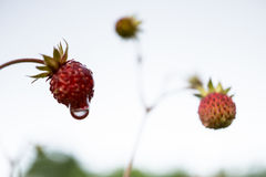 Strawberries with a rain drop Royalty Free Stock Photos