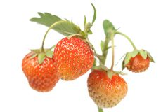 Strawberries on white Royalty Free Stock Photos
