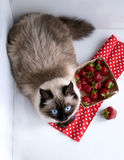 Strawberries.  on a white background. cat siamese siberian color point fluffy. Strawberries in a basket from a vine.  on a white background. cat siamese siberian Stock Photo