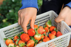Strawberries in white punnet Royalty Free Stock Photos