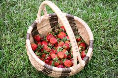 Strawberries in wicker basket. Overhead view of freshly picked strawberries in wicker basket with green grass background Royalty Free Stock Photo