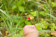 Strawberries wild twigs hand picking close up grass background Stock Image