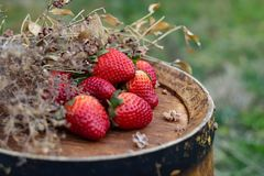Strawberries on a wine wooden barrel in an orchard in summertime. royalty free stock image