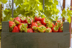 Strawberries. Wooden box with strawberries in the field Royalty Free Stock Photo