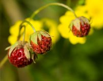 Strawberries and yellow flowers in a meadow Stock Images