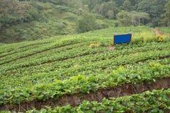 strawberrry Plantage auf Berg Gepflanzt in den Reihen auf einem Abhang Lebensmittel u. AG Stockfoto