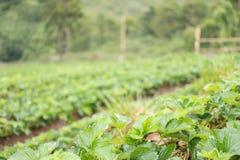 strawberrry Plantage auf Berg Gepflanzt in den Reihen auf einem Abhang Lebensmittel u. AG Stockfotografie