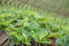 strawberrry Plantage auf Berg Gepflanzt in den Reihen auf einem Abhang Lebensmittel u. AG Lizenzfreies Stockfoto