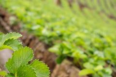 strawberrry Plantage auf Berg Gepflanzt in den Reihen auf einem Abhang Lebensmittel u. AG Lizenzfreie Stockfotografie