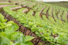 strawberrry Plantage auf Berg Gepflanzt in den Reihen auf einem Abhang Lebensmittel u. AG Lizenzfreies Stockbild