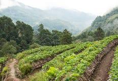 strawberrry Plantage auf Berg Gepflanzt in den Reihen auf einem Abhang Lebensmittel u. AG Stockbilder