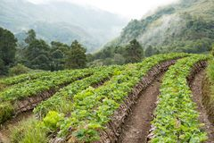 strawberrry Plantage auf Berg Gepflanzt in den Reihen auf einem Abhang Lebensmittel u. AG Stockfotos