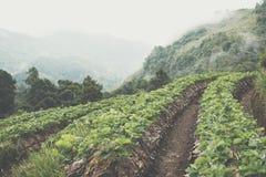 strawberrry Plantage auf Berg Gepflanzt in den Reihen auf einem Abhang Lebensmittel u. AG Lizenzfreie Stockbilder
