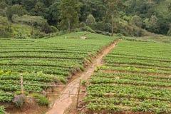 strawberrry Plantage auf Berg Gepflanzt in den Reihen auf einem Abhang Lebensmittel u. AG Lizenzfreie Stockfotos
