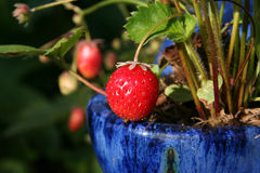 Strawberry. Strawberries growing in a strawberry pot Stock Photo