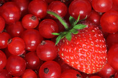 Strawberry. In front of red currants Royalty Free Stock Photos