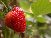 Strawberry. Ripen strawberry fruit and plant Royalty Free Stock Photo