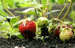 Strawberry. Berry; soft fruit, small fruit; bacca, strawberries, bush, shrub, garden, soil, ground, plant Royalty Free Stock Images
