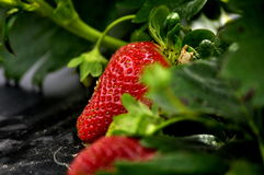 Strawberry. Well formed strawberry hiding amongst the leaves royalty free stock images