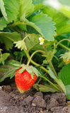Strawberry. Red strawberry on a bush royalty free stock image