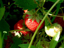 Strawberry...(2) Royalty Free Stock Photo