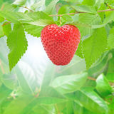 Strawberry. Fresh and delicious strawberry in the forest Stock Photography