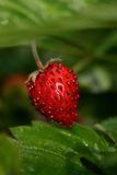 Strawberry. Macro shot Royalty Free Stock Photography
