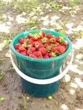 Strawberry; royalty free stock image