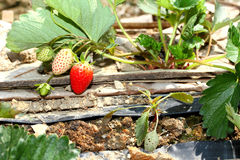 Strawberry. Farm in the north of Thailand Stock Images