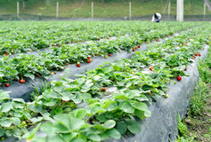Strawberry. It is strawberry field with a person on working. location is China Royalty Free Stock Images