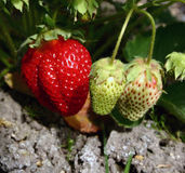 Strawberry. Red and green stock photography