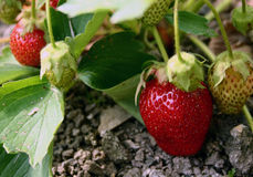 Strawberry. Strawberry bed stock photos