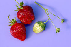 Strawberry. Off a vine at a farm Royalty Free Stock Photography