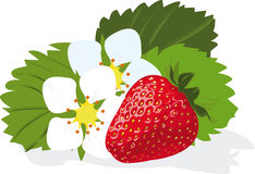 Strawberry. Ripe berry a strawberry and flowers on a white background Royalty Free Stock Images