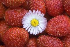 Strawberry. White flower on a background of red wild strawberry Stock Images