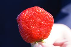 Strawberry. Ripe, red strawberry in a hand Royalty Free Stock Images