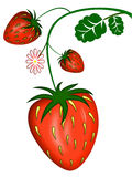 Strawberry. Red  strawberries with white flower Royalty Free Stock Photo