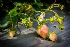 Strawberry01 imagens de stock
