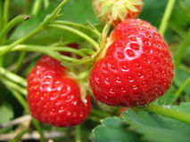 Strawberry. In the garden Royalty Free Stock Images
