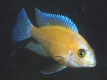 Strawberry African Peacock Cichlid Royalty Free Stock Images