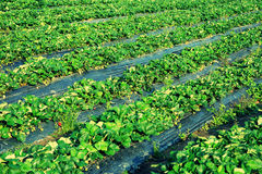 Strawberry in agriculture field Stock Photography
