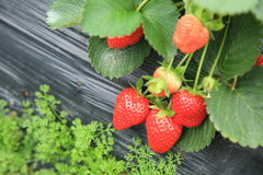 Strawberry in agriculture field Stock Photos