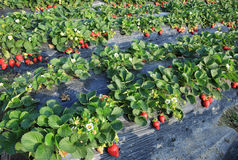Strawberry in agriculture field Royalty Free Stock Photos