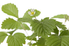 Strawberry baby plant Royalty Free Stock Photo